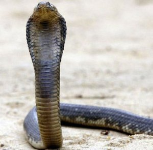 An Egyptian Cobra very much like the one who escaped from the Bronx Zoo.